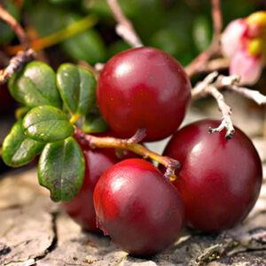 Vaccinium macrocarpon 'Cranberry' - Amerikai tőzegáfonya