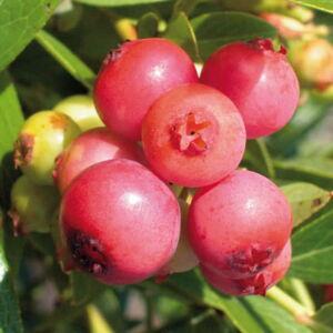 Vaccinium corymbosum 'Pink Lemonade' - Magasbokrú áfonya