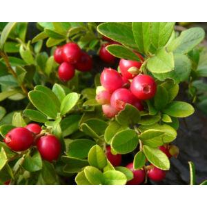 Vaccinium vitis-idaea 'Koralle' - Vörös áfonya
