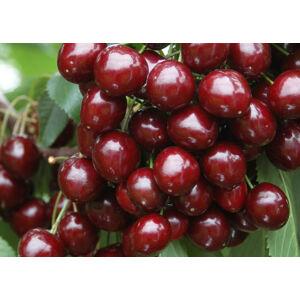 'Bigarreau Burlat' cseresznye – Extra méretű koros cseresznye