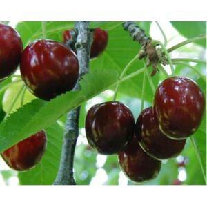 'Hedelfingeni óriás' termésű cseresznye