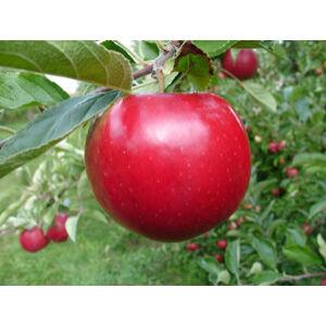 'Idared' alma – Extra méretű koros alma