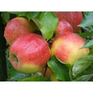 'Jonagold' alma - Extra méretű koros alma