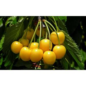 'Dönissens Gelber Knorpelkirsche' édes sárgacseresznye