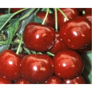 'Solymári gömbölyű' cseresznye
