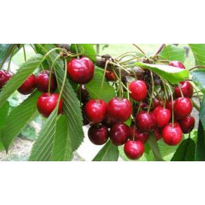 'Van' cseresznye - Extra méretű koros cseresznye