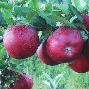 'Téli piros pogácsa' régi almafajta