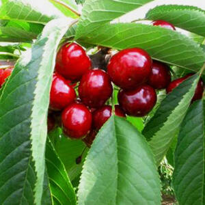 'Christiana' cseh cseresznye