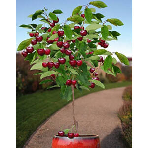 'Dwarf Cherry' törpe cseresznyefa