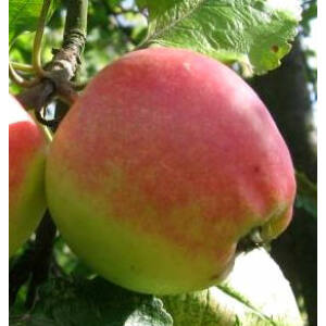 'Jászvadóka' (citromalma) régi magyar almafajta