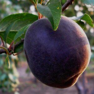 'Crna' Prunus × dasycarpa 'Crna' – Fekete kajszilva (Fekete kajszi) (konténeres)