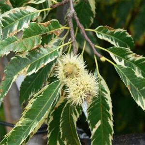 Castanea sativa 'Variegata' – Sárga-tarka levelű szelídgesztenye
