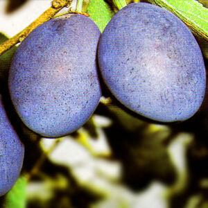 'Olasz kék' szilva