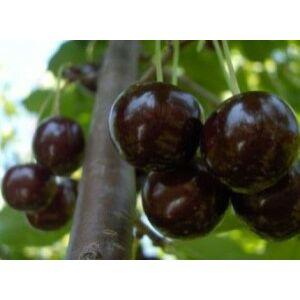'Szomolyai fekete' cseresznye