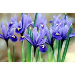 Iris reticulata 'Harmony' – Sziklakerti írisz (kék)