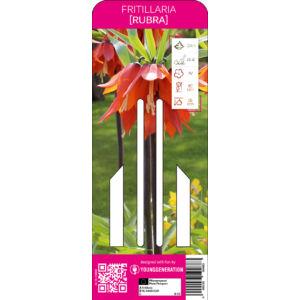 Young Generation – Fritillaria 'Rubra'