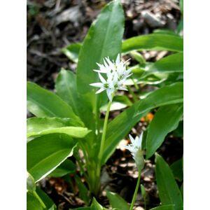 Medvehagyma - Allium ursinum