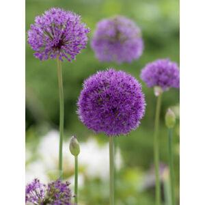 Allium aflatunense - Iráni hagyma