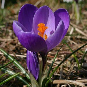 Nagyvirágú krókusz 'Flower Record'