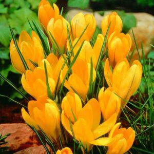 Nagyvirágú krókusz 'Large Yellow'