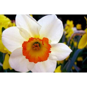 Nagykoronás nárcisz 'Flower Record'