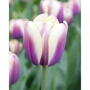 Triumph-típusú tulipán 'Atlantis'