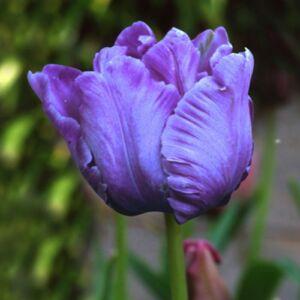 Papagájvirágú tulipán 'Blue Parrot'
