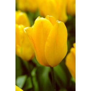 Fosteriana tulipán 'Candela'