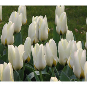 Fosteriana tulipán 'Concerto'