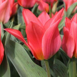 Greigii-tulipán 'Toronto'