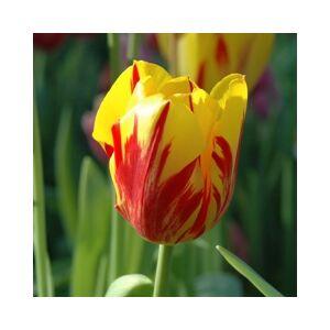 Triumph-típusú tulipán 'Bania Luca'