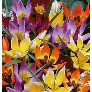 Botanikai tulipán - színkeverék