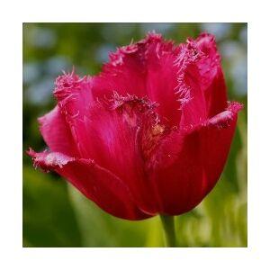 Orchideavirágú tulipán 'Burgundy Lace'
