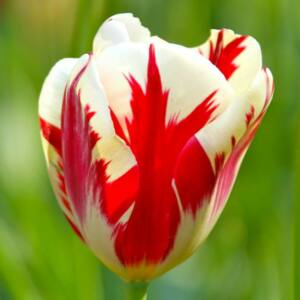 Triumph-típusú tulipán 'Grand Perfection'