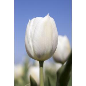 Triumph-típusú tulipán 'Inzell'