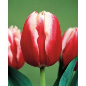 Triumph-típusú tulipán 'Leen van der Mark'