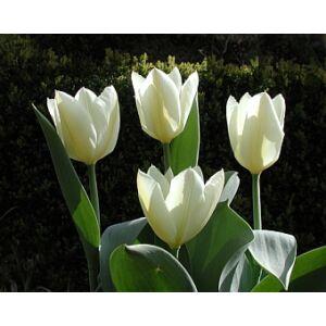 Fosteriana tulipán 'Purissima'