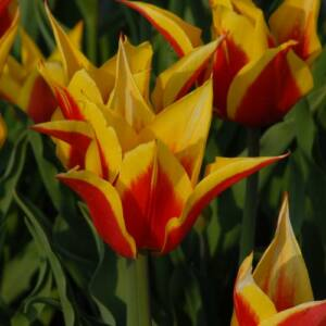 Liliomvirágú tulipán 'Synaeda King'