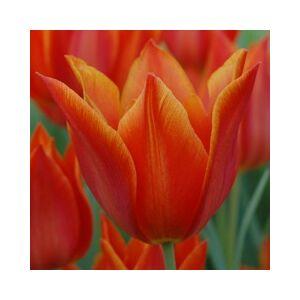 Liliomvirágú tulipán 'Synaeda Orange'