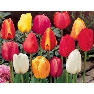 Tulipán színkeverék