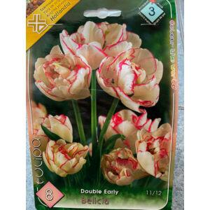 Teltvirágú tulipán 'Belicia'