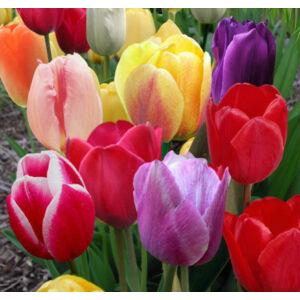 Triumph-típusú tulipán színkeverék