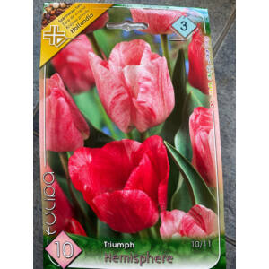 Triumph-típusú tulipán 'Hemisphere'