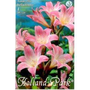 Amaryllis belladonna- Hölgyliliom