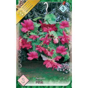 Begonia - Csüngő virágú begónia (rózsaszín)