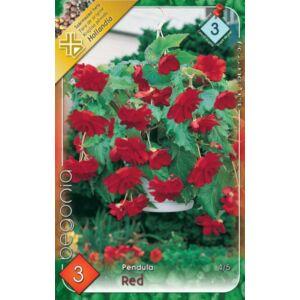 Begonia - Csüngő virágú begónia (piros)