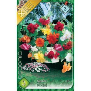 Begonia - Csüngő virágú begónia (színkeverék)