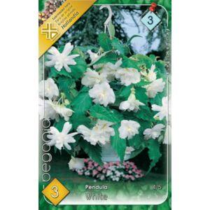Begonia - Csüngő virágú begónia (fehér)