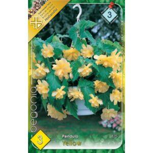 Begonia - Csüngő virágú begónia (sárga)