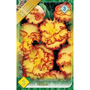 Begonia crispa marginata - Gumós begónia (sárga)